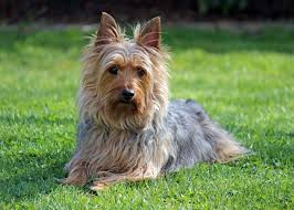 Non Shedding Small Dogs Australia by 22 Breeds Of Small Hypoallergenic Dogs U2013 Stat Scripts