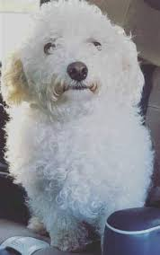 Do Jackie Bichon Shed by Lost Dog Fort Worth Texas Ryder