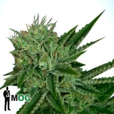 Auto Northern Lights by Ministry of Cannabis Information