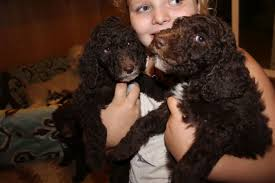 Do F1 Aussiedoodles Shed by About Labradoodles Aussiedoodle And Labradoodle Puppies Best