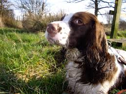 Springer Spaniel Shed Hunting by English Springer Spaniel Information Dog Breeds At Dogthelove
