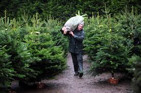 Fraser Fir Christmas Trees Uk by 8 Places To Buy Real Christmas Trees In Bolton U2014 And How To Keep