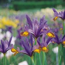 cheap iris flower bulbs find iris flower bulbs deals on line at