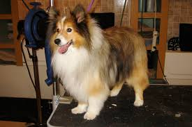 Sheltie Shedding In Winter by Move Over Virginia Woolf