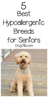 Hypoallergenic Shed Free Dogs by 5 Best Hypoallergenic Breeds For Seniors Hypoallergenic Dog