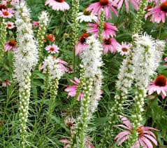 liatris spicata alba white flower farm
