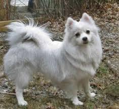 miniature american eskimo dog miniature american eskimo dogs
