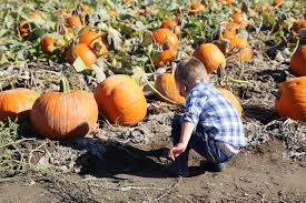Kent Farms Pumpkin Patch by Carpinto Brother U0027s Pumpkin Patch U2014 Finding The Extraordinary In