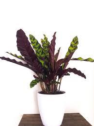 large calathea rattlesnake plant calathea lancifolia live houseplant pet safe housewarming present house decor white planter