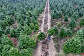 When It Comes To Christmas Trees Its Au Natural Or Nothing CBC News