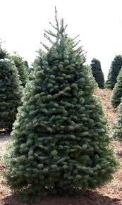 Silvertip Christmas Tree by Mvhs Spartan Tree Lot More Info