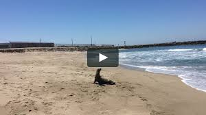 100 Silver Strand Beach Oxnard Sea Lion Bodysurfs Onto Sand On Vimeo