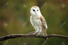Barn Owl Stock Photos. Royalty Free Barn Owl Images And Pictures Barn Owl Landing Spread Wings On Stock Photo 240014470 Shutterstock Barn Owl Landing On A Post Royalty Free Image Wikipedia A New Kind Of Pest Control The Green Guide Fence Photo Wp11543 Wp11541 Flight Sequence Getty Images Imageoftheday By Subject Photographs Owls Kaln European Eagle Coming Into Land Pinterest Pictures And Bird