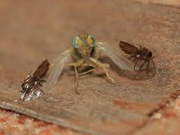 Fly with ant mimic wings  Why Evolution Is True