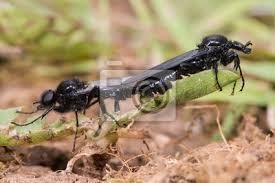 markusfliegen bibio marci paarung behaarte schwarze fliegen bilder myloview