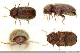kleine braune käfer in der wohnung welcher könnte es sein