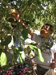 Best Pumpkin Patch In San Bernardino County by Go Apple Picking In San Diego Top 5 U Pick Apple Farms And Orchards