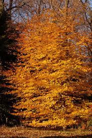 Christmas Tree Farms Near Wadsworth Ohio by 84 Best British Trees Images On Pinterest Shrubs Celtic Tree