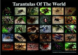 Pumpkin Patch Tarantula Scientific Name by Anyone Know Where I Can Find Some Nice Posters Tarantulas