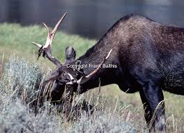 Moose Shedding Their Antlers by Moose Antler Molt Yellowstone Np Wy Scan 11l Frank Balthis Tif