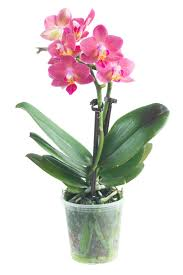 entretenir une orchidée avec alysson