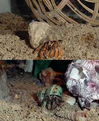 Do Hermit Crabs Shed Shell by Behavior U0026 Molting Hermit Crab Landing