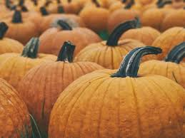Pumpkin Patch Pasadena Area by Oct 7 Pumpkin Festival Corn Maze U0026 Petting Farm Cal Poly