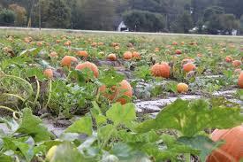 Atlanta Pumpkin Patch Corn Maze by Pumpkin Patch Where Are The Best Near Atlanta