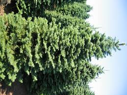 Leyland Cypress Christmas Tree by Types Of Christmas Trees Christmas Tree Types Different Types
