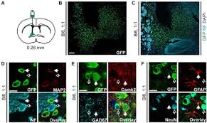 Bed Nucleus Of The Stria Terminalis by Egfp L10a Expression In The Bed Nucleus Of The Stria Te Open I