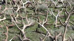 Does Deer Shed Their Antlers by Elk Antlers On The Prairie A Shed Hunt To Benefit The Local