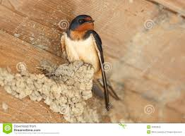Barn Swallow Perched On Partially Built Mud Nest Stock Image ... Barn Swallow Hirundo Rustica Fledgling In Nest Stock Photo Chicks Almost Ready To Leave The The Life Of Filebarn Fledglings Nestling Siblings Near Its Three Young Hatchling Nests Seasons Flow Bird Nests A Website On Birds World Nestlings Nestwatch Sauvie Island 30 May 2013 John Rakestraw Words Birds Cservation And Research British Columbia