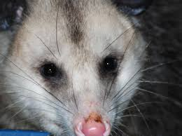 Opossums And Gardening: A Few Things To Know : The National ... All About Opossums Wildlife Rescue And Rehabilitation Easy Ways To Get Rid Of Possums Wikihow Animals Articles Gardening Know How 4 Deter From Your Garden Possum Hashtag On Twitter Removal Living In Sydney Opossum Removal Services South Florida Nebraska Rehab Inc Help Nuisance Repel Gel Barrier Sealant For Squirrels And Raccoons To Of Terminix