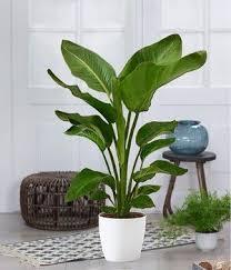 zimmerpflanzen kaufen bestellen bei baldur
