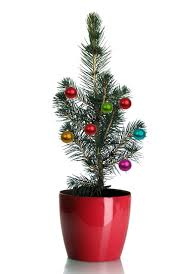 Silver Tip Christmas Tree Los Angeles by Grow Your Own Mini Living Christmas Tree