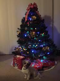 Tumbleweed Christmas Tree Pictures by Hava Christmas 2015 Heavenly Havanese