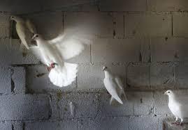100 Pigeon Coop Plans Pope Will Answer Bosnian Pigeon Breeders Prayer