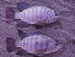 Successful Production Of Nile And Blue Tilapia Fry Global Aquaculture Advocate