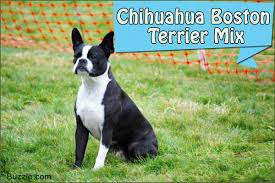 Non Shedding Husky Cross by The Good And Not So Good Traits Of Chihuahua Terrier Mix Breeds