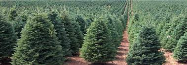 Noble FIr Christmas Tree In The Field