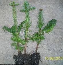 Christmas Tree Saplings Ireland by Christmas Tree Growers