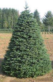 The Douglas Fir Christmas Tree Is Second Most Common In Western United States Grown Oregon And Washington