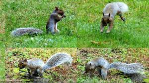 Squirrels Burying Nuts Documentary - YouTube Qa More Help For Dogfriendly Gardens Sunset Beetles Backyard And Beyond Page 6 Best 25 Dog Backyard Ideas On Pinterest Potty Bathroom What To Do With Your Pets Remains After Death I Used Concrete Blocks As Planters To Keep My Dog From Digging 26 Burrowing Animals Pictures You Need See Right Now Man Admits Shooting Burying In Westside Jacksonville Is Your A Bone Or Other Objects Gotta Find That Peanut Bury It My Wildlife Squirrels Burying Nuts Documentary Youtube Mountain Lion Deaths Creasing Near Santa Monica Mountains Abc7com Squirrel Nut Frenzy
