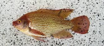 Hawaiian Gold Tilapia Oreochromis Mossambicus Fish Caught From A Garden Pond Within The Mayan Palace Complex Mazatlan Sinaloa April 2015