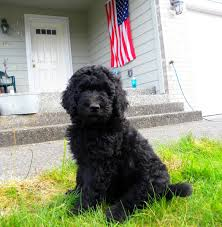 Do F1 Aussiedoodles Shed by Black F1b Goldendoodle From Dreamydoodles Com Out In The Front