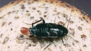 kakerlaken bekämpfen so werden sie die schaben los