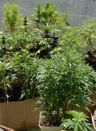 les 25 meilleures idées de la catégorie plantation cannabis