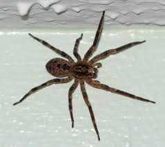 Spiders Of San Francisco Bay Area : Sfbaywildlife.info R2rustys Chatter September 2017 Ladybugs Backyard And Beyond Birdingand Nature Golden Silk Orb Weaver Spider In Bug Eric Sunday Black Yellow Argiope Glass Beetle By Falk Bauer A Backyard Naturalistinsects Ghost Spiders Family Anyphnidae Spidersrule C2c_wiki_silvgarnspider_hrw8q0m1465244105jpg Aurantia Wikipedia Two Views Sonoran Images Elephant Tiger Skin Spiny Blackandyellow Garden Mdc Discover Power Animal For October Shaman Amy Katz