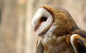 Barn Owl Wallpaper (63+ Images) Barn Owl United Kingdom Eurasian Eagleowl Wallpaper Studio 10 Tens Of Barn Owl Wallpapers And Backgrounds Pictures 72 Images By Faezza On Deviantart Bird Falconry One Animal Closeup Free Image Snowy Hd 78 Sits Pole Wooden Dove Birds Images Hd 169 High Wallpaper 1680x1050 11554 Free Backgrounds At Wildlife Monodomo 2 One Online 4k Desktop For Ultra Tv Wide