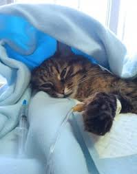 renal failure in cats renal failure kidney failure in cats two cat